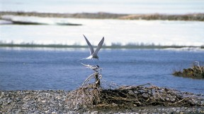 Robert Leonard Reid propelled himself above the Arctic Circle and there encountered both terns and the great caribou herd, including these young.