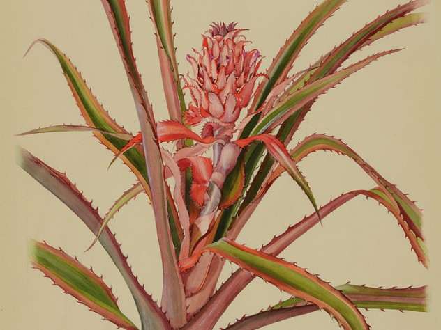 Margaret Mee painting of the bromeliad Ananas bracteatus, which is related to the pineapple