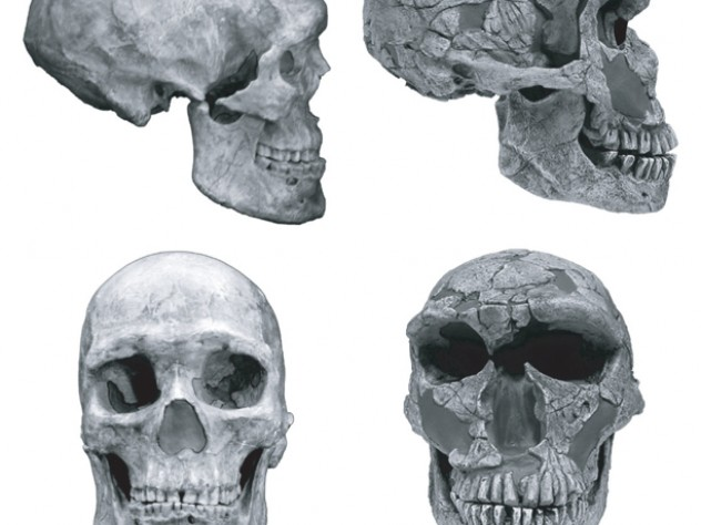 There are notable differences between skulls of humans and of Neanderthals. The human cranial vault is rounded, rather than lemon-shaped. Human faces are small and retracted and include chins. Neanderthals have large, protruding faces, with brow ridges and no chins.