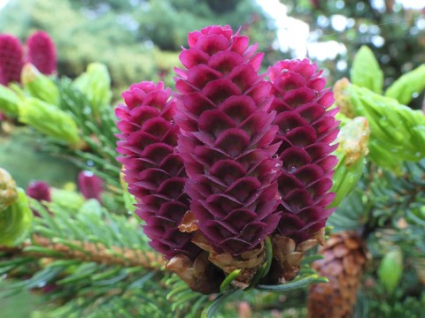 Purple spruce cones