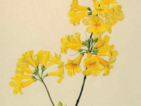 Margaret Mee painting of yellow trumpet tree